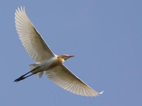 oostelijke-koereiger-eastern-cattle-egret-04