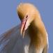 oostelijke-koereiger-eastern-cattle-egret-02