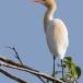 oostelijke-koereiger-eastern-cattle-egret-07