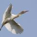 oostelijke-koereiger-eastern-cattle-egret-08