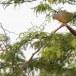 Oranjeborstpapegaaiduif-Orange-breasted-Green-Pigeon-01