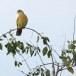 Oranjeborstpapegaaiduif-Orange-breasted-Green-Pigeon-02