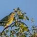 Oranjeborstpapegaaiduif-Orange-breasted-Green-Pigeon-04