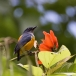 Oranjebuikhoningvogel – Orange-bellied Flowerpecker