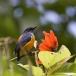 Oranjebuikhoningvogel – Orange-bellied Flowerpecker