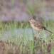 Orientaalse-pieper-Paddyfield-pipit-03