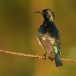 Ornaathoningzuiger – Variable Sunbird