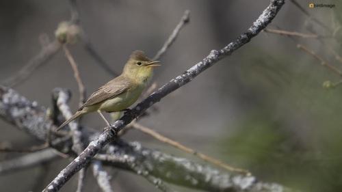 Orpheus spotvogel - Melodious Warbler 05