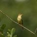 orpheus-spotvogel-melodious-warbler-01