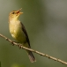 orpheus-spotvogel-melodious-warbler-03