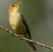 orpheus-spotvogel-melodious-warbler-04