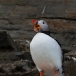 papegaaiduiker-atlantic-puffin-05