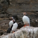 papegaaiduiker-atlantic-puffin-06