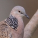 Parelhalstortel – Spotted Dove