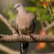 parelhalsbandtortel-spotted-dove-02