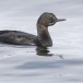 Pelagische aalscholver -  Pelagic cormorant 01