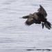 Pelagische aalscholver -  Pelagic cormorant 02