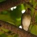 Pelioslijster – African Thrush