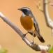 perzische-roodborst-white-throated-robin-07