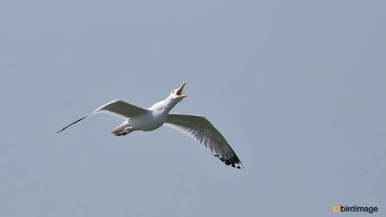 Pontische meeuw - Caspian Gull 03