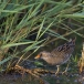 porseleinhoen-spotted-crake-03