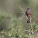 Provencaalse-grasmus-Dartford-Warbler-06