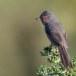 Provencaalse-grasmus-Dartford-Warbler-08