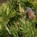 provencaalse-grasmus-dartford-warbler-01