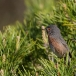 provencaalse-grasmus-dartford-warbler-02