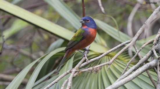 purpergors - Painted Bunting 001