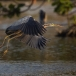 purperreiger-purple-heron-25