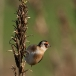 putter-goldfinch-05