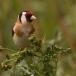 putter-goldfinch-10