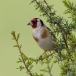 putter-goldfinch-17