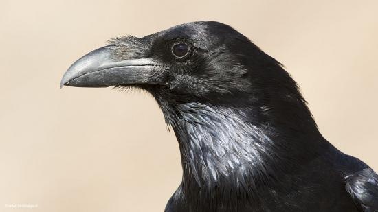 Raaf - Common Raven 15
