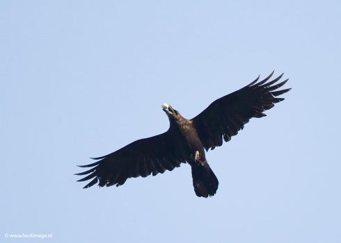 Raaf - Common Raven 17