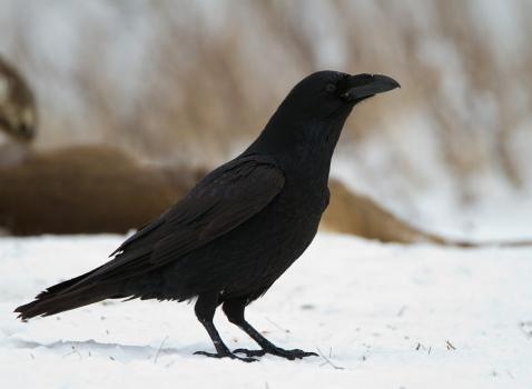 raaf-common-raven-01
