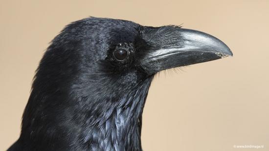 Raaf - Common Raven 10