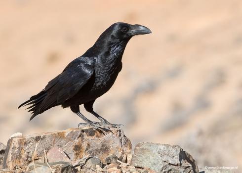 Raaf - Common Raven 16