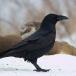 raaf-common-raven-02