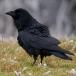 raaf-common-raven-03