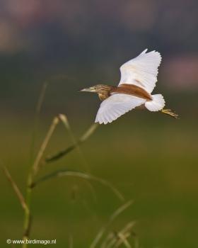 ralreiger-squacco-heron-16