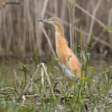 Ralreiger - Squacco Heron 20