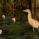 ralreiger-squacco-heron-01