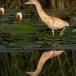 ralreiger-squacco-heron-02