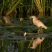ralreiger-squacco-heron-03