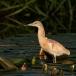 ralreiger-squacco-heron-04