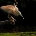 ralreiger-squacco-heron-06