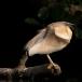 ralreiger-squacco-heron-07