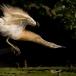 ralreiger-squacco-heron-08